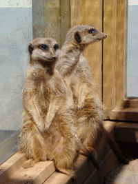 Woodlands Meercats